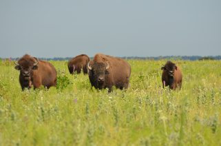 Bison graze at Prairie State Park in Missouri.